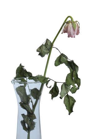 dode bladeren: Droge roos in een vaas op een witte achtergrond.