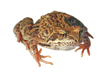 Frog isolated on a white background. Stock Photo - 11438610