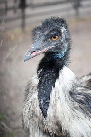 emu: Negro cabeza de un pájaro con el pico big close up