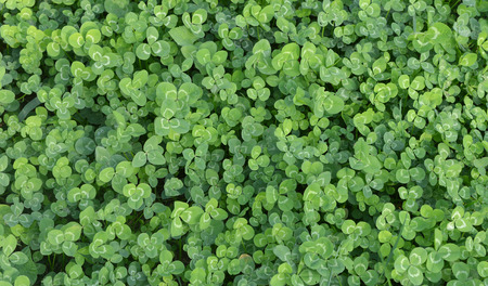 lucky clover: Background. Green leaves of a clover in the field.