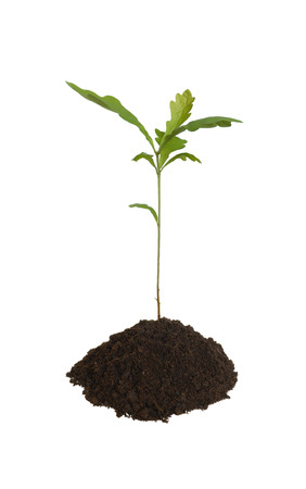Young oak isolated on a white background. Stock Photo