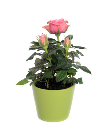 Rose bush in a pot on a white background.