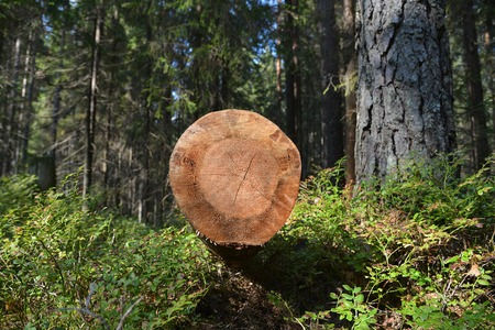 sawed: The sawn tree in the wood.