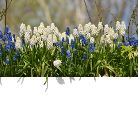 blank spaces: Spring flowers hyacinths and a white background for the text. Stock Photo
