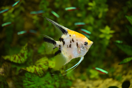 The Pterophyllum is a freshwater fish Stock Photo