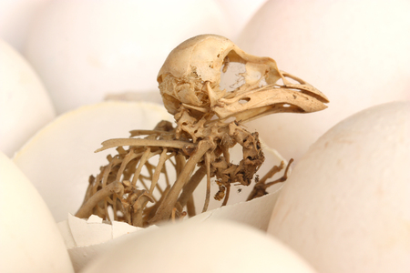 Skeleton of a bird among eggs.