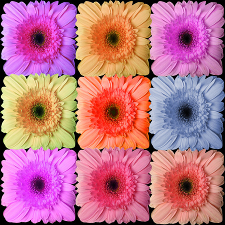 Flower of gerber daisy collection