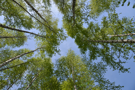 Looking up view birches leaves over blue sky