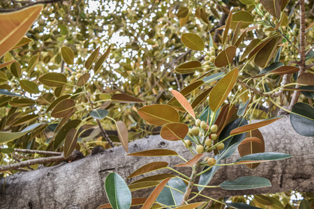literally: Beverly Gardens Park, the 100 year old tree behind it is just as worth visiting. This stately old Moreton Bay Fig Ficus leaves has literally grown with Beverly Hills over the years. Stock Photo