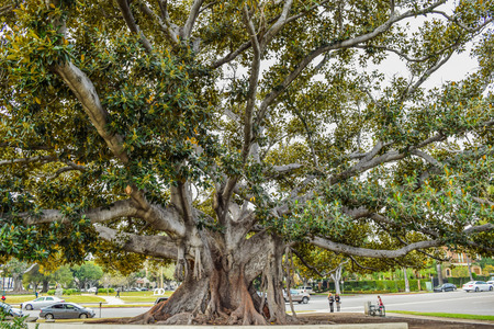 Beverly Gardens Park, the 100 year old tree behind it is just as worth visiting. This stately old Moreton Bay Fig Ficus has literally grown with Beverly Hills over the years.
