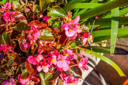 new guinea: Fiori rossi Nuova Guinea, Marciapiede fiori rossi. fiore Impatiens su un marciapiede