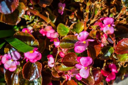 new guinea: Red Flowers New Guinea, Sidewalk flowers red. Impatiens flower on a sidewalk