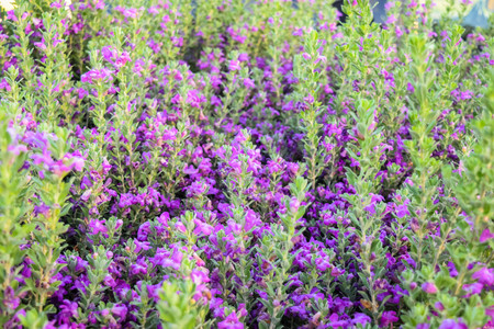 lavendin: Lavender bushes closeup on sunset. Sunset gleam over purple flowers of lavender. Chihuahan Sage, Chihuahua Stock Photo