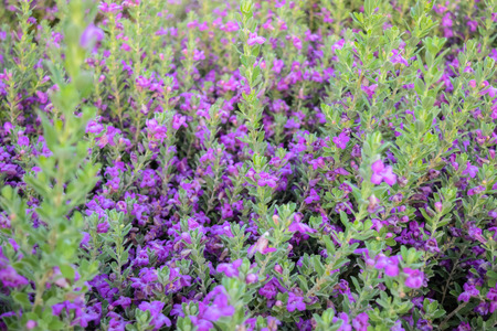 chihuahua desert: Lavender bushes closeup on sunset. Sunset gleam over purple flowers of lavender. Chihuahan Sage, Chihuahua Stock Photo