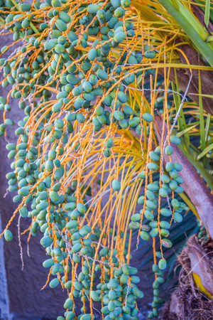 green dates: Bunch of dates, green palm seed on palm tree