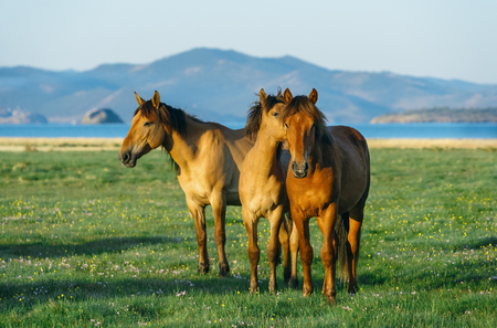 resent: Three horses. Wild horses in the nature reserve of Lake Baikal. Horses owned by a local farm . Farm closed. Horses walk by themselves .