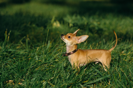 sonorous: Russian Toy Terrier walk in the park for a walk in the late summer . pale orange color , a boy 5 months. name is Bambi.