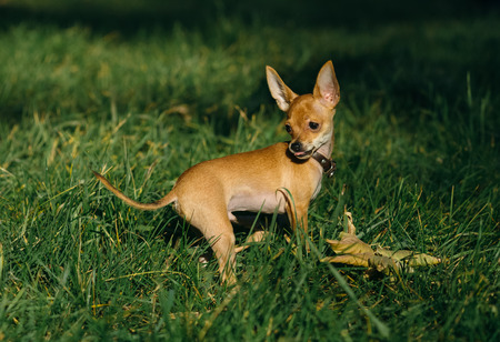turned out: Russian Toy Terrier walk in the park for a walk in the late summer . dog turned around and stuck out her tongue. pale orange color , a boy 5 months. name is Bambi.