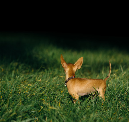 sonorous: Russian Toy Terrier walk in the park for a walk in the late summer. dog turned away and looks into the forest. 100 black background for your text. pale orange color, a boy 5 months. name is Bambi.