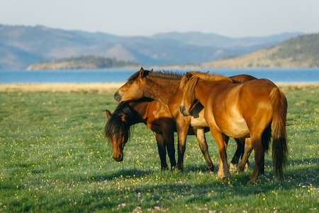 owned: Three horses. Wild horses in the nature reserve of Lake Baikal. Horses owned by a local farm . Farm closed. Horses walk by themselves .
