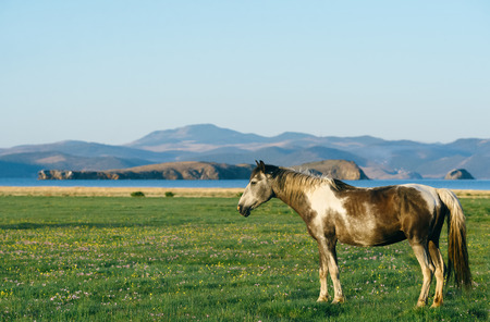 owned: Wild horses in the nature reserve of Lake Baikal. Horses owned by a local farm . Farm closed. Horses walk by themselves .