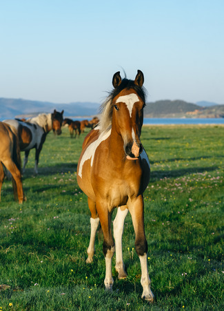 resent: Wild horses in the nature reserve of Lake Baikal. Horses owned by a local farm . Farm closed. Horses walk by themselves .