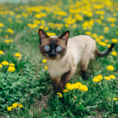 ashy: Siamese handsome cat who walks through the meadow with yellow dandelions.