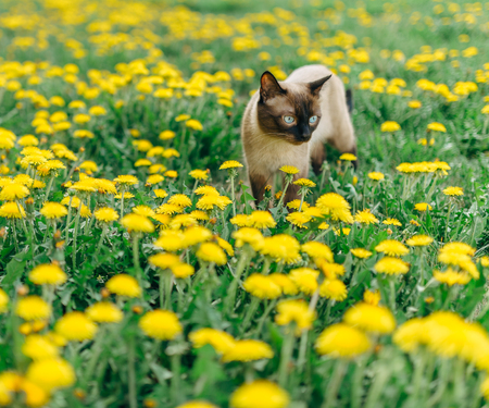moustached: Siamese handsome cat who walks through the meadow with yellow dandelions.
