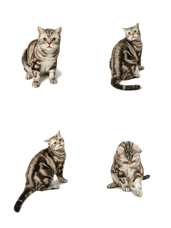 interrogative: British shorthair cat sitting. Emotions : suspicion , fear, surprise , playfulness , confusion , bafflement. Object isolated on white background with shadow.