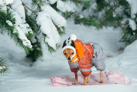 jumpsuit: Russian toy terrier in a city park in the winter. For the first time in a jumpsuit . He is standing and looking at you. Pale orange color, a boy 5 months. Name is Bambi. Stock Photo
