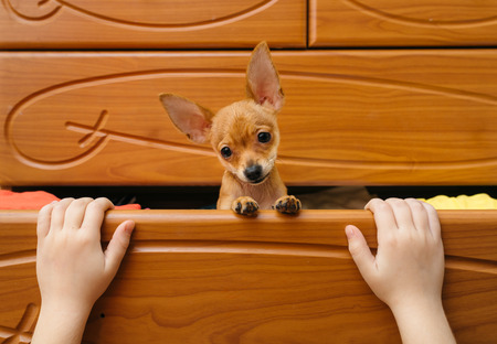 toy terrier: Toy Terrier who hid in the chest. Stock Photo