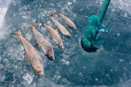 burbot: Pesca del invierno en el lago Baikal. El lago de agua dulce más profundo del planeta. cuerpo de los peces fue retocada.