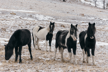 arab beast: Horses in the snow-covered steppe.