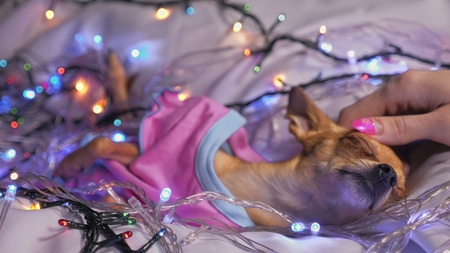 The Toy Terrier is a yellow New Years dog. The dog lies ridiculously, looks and falls asleep. She is surrounded by garlands and dressed in baby sliders.