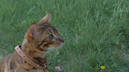 Bengal cat walks in the grass. He shows different emotions. The cat looks away. Ears on the vertex, pointing forward: the cat is in a good mood, ready for the game. Stock Photo