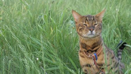 Bengal cat walks in the grass