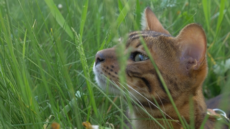 Bengal cat walks in the grass. He shows different emotions. The view of the animal is very close to the grass. Ears on the vertex, pointing forward: the cat is in a good mood, ready for the game and for manifestations of love.