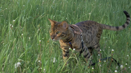 Bengal cat walks in the grass. He shows different emotions. Predator tracks down prey. He follows her with interest. Ears on the vertex, pointing forward: the cat is in a good mood, ready for the game. Stock Photo