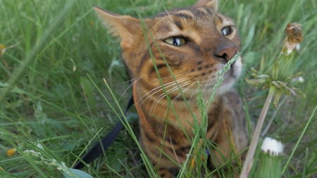 Bengal cat walks in the grass. He shows different emotions. The cat enjoys the fresh air. Breathes in new smells. He relaxes covering his eyes.