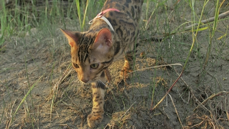 One cat bengal walks on the green grass. Bengal kitty learns to walk along the forest. Asian leopard cat tries to hide in the grass. Reed domesticated cat in nature. Domestic cat on beach near river.