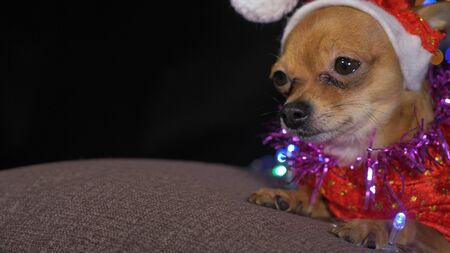 The Toy Terrier is a yellow New Years dog. A funny dog in a Christmas cap lies and looks around. He falls asleep and wakes up. A background of a fur-tree with shone by lights.