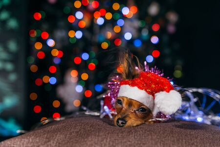 The Toy Terrier is a yellow New Years dog. Stock fotó