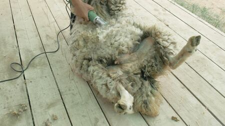 Men shearer shearing sheep at agricultural show in competition. The process by which wool fleece of a sheep is cut off. Electric professional sheep manual hair clipper sheep cutting shearing machine. Stock Photo