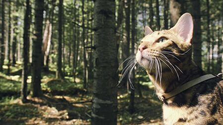 One cat in a city park. Bengal wildcat walk on the forest in collar. Asian Jungle Cat or Swamp or Reed. Domesticated leopard cat hiding, hunting and playing in grass. Domestic cat in outdoor nature.