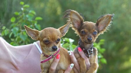 Woman holds two dogs in her hands. The toy terrier fluttering hair in the wind. They are very differently looking around. Imagens