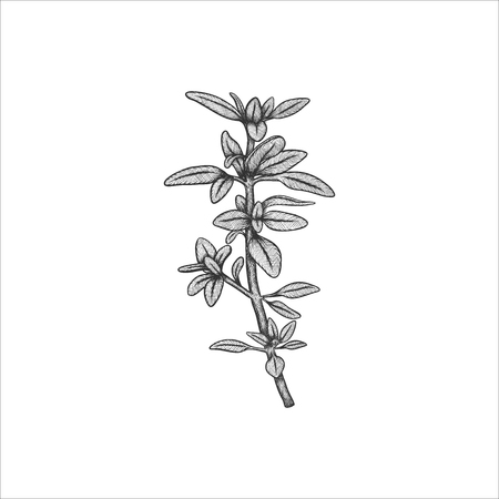 Handrawn herb thyme vector illustration isolated on white background Ilustrace
