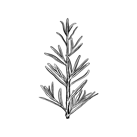 Hand drawn rosemary vector illustration-rosemary logo design inspiration isolated on white background