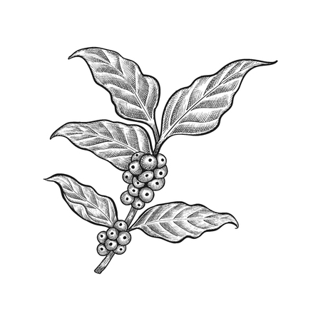 Hand drawn coffee leaf vector - Coffee bean vector isolated on white background
