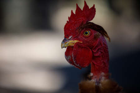 close-up of a chicken or roosters eyes, play of light, red comb