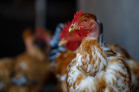 chickens and roosters at home, chickens close up, place for text, chickens look in the eyes, chickens close-up